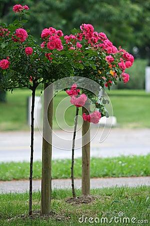 Rose auf dem Stiel