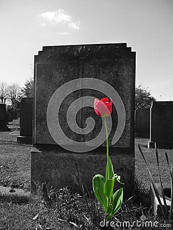 Rose auf meinem Grab