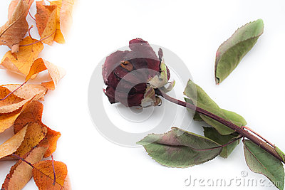 Rose and autumn leaves
