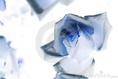 Rose for background