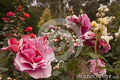 Rose blommaträdgård