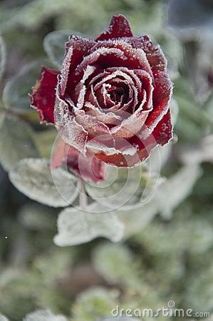 Free Rose Blooming In Frost In  Garden Stock Images - 48059224