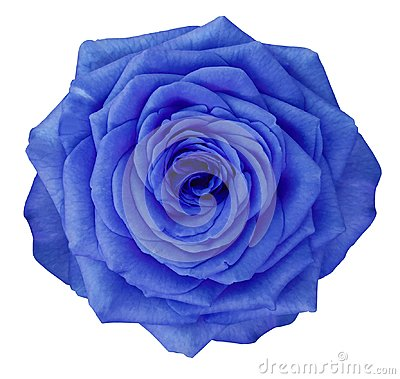 Free Rose  Blue Flower  On White Isolated Background With Clipping Path.  No Shadows. Closeup. Royalty Free Stock Image - 109559636