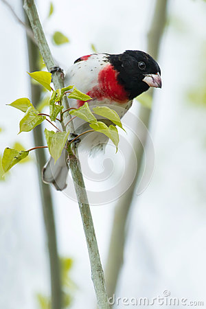 Free Rose Breasted Grosbeak Royalty Free Stock Photo - 92348275