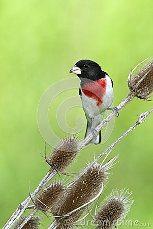 Rose-Breasted Grosbeak (Pheucticus melanocephalus)