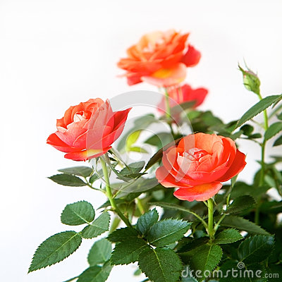 Free Rose Bush Royalty Free Stock Photos - 29246558