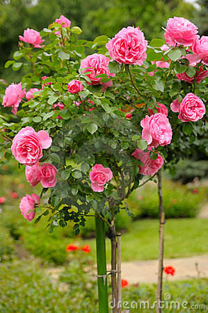 Free Rose Bush Stock Photo - 6588420