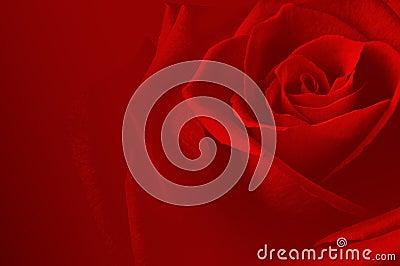 Rose carsd