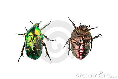 Rose chafer isolated on white