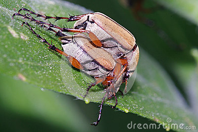 Rose Chafers  preparing to Mate