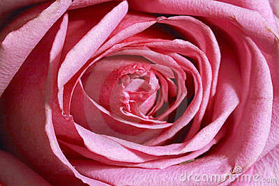 Rose Closeup