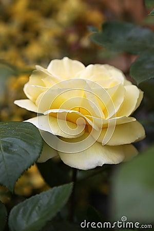 Closeup of traditional Yellow English rose surroun