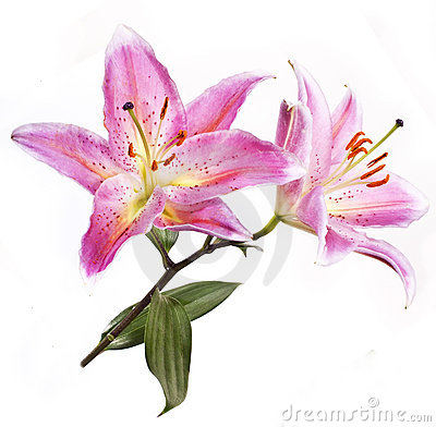 Pink-coloured lily