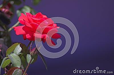 Rose on deep blue Background