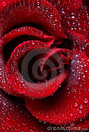 Rose dew drops