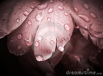 Rose With Dew Drops.