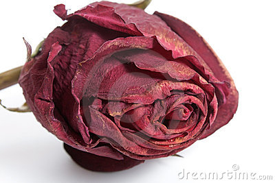 Rose - Dried