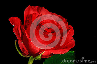 Rose with droplets