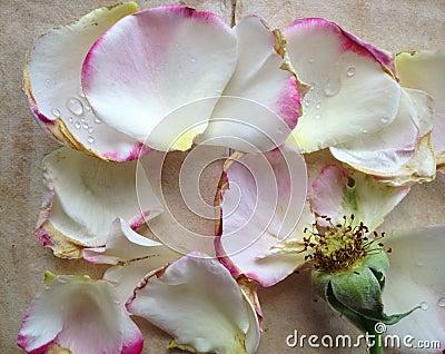 Rose with fallen petals