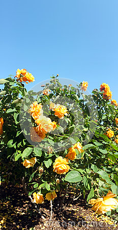 Rose flower bush