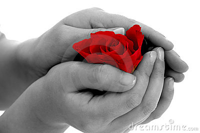 Rose flower in hand on white background