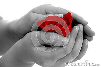Rose flower in hand on white background