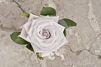 Rose flower over grunge background