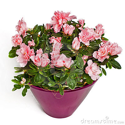 Rose flowers in flowerpot