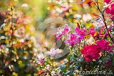 Rose garden in the morning