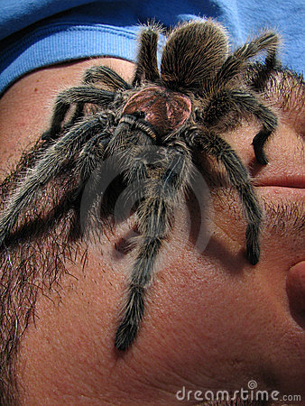Rose hair tarantula on face