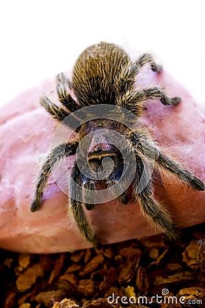 Rose hair Tarantula Spider crawling