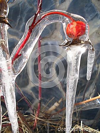 Rose hib frozen