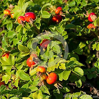 Rose hip bush