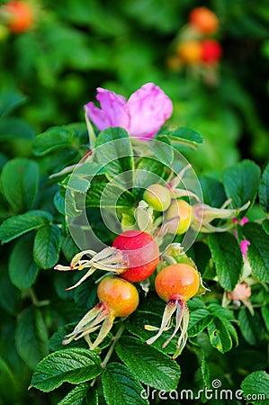 Rose-hip flower