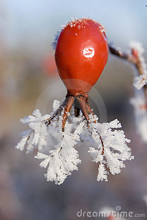 Free Rose Hip In Wintertime Royalty Free Stock Photography - 11652667