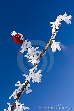 Free Rose Hip In Wintertime Royalty Free Stock Images - 11652689
