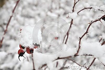 Rose hip in wintertime