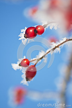Free Rose Hip With Ice Crystals Stock Photos - 28043083
