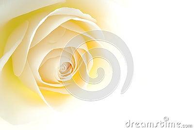 Rose kremowe