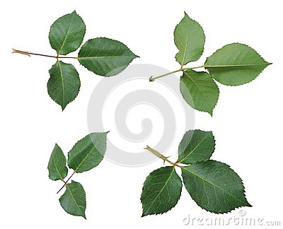 Rose leaves
