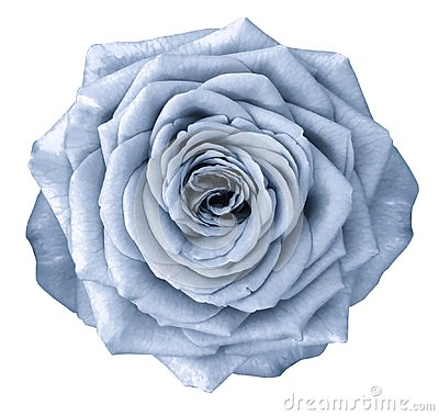 Free Rose  Light Blue Flower  On White Isolated Background With Clipping Path.  No Shadows. Closeup. Stock Photography - 109559632