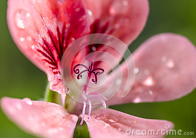 Rose pelargon