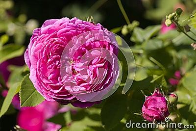 A Rose - perennial flower shrub vine of genus Rosa