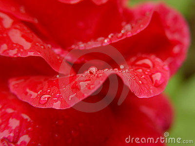 Rose Petal Water Drops