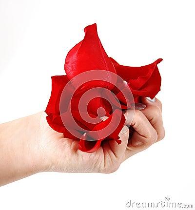 Rose petals in hand