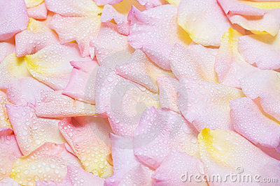 Rose petals with water drops