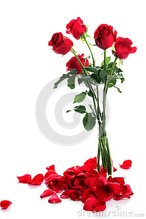 Rose with petals on white