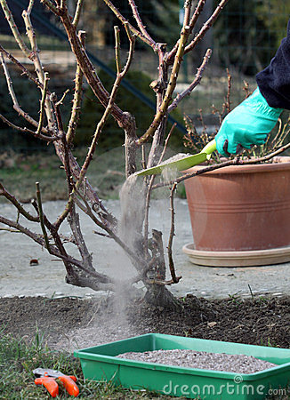 Rose plant fertilize and cutting