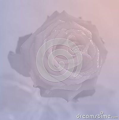 Free Rose Quartz And Serenity Rose Background Stock Photo - 68823050
