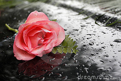 A rose in the rain